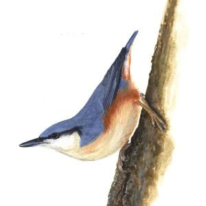 Brhlík lesný (4)
