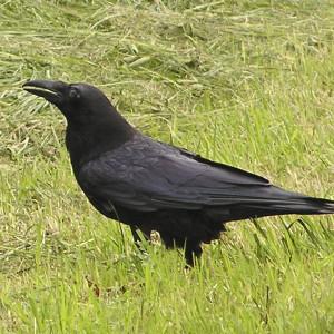 Krkavec čierny 02